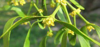 Photo de fleurs de Gui