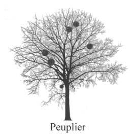Peuplier, arbre hôte du Gui